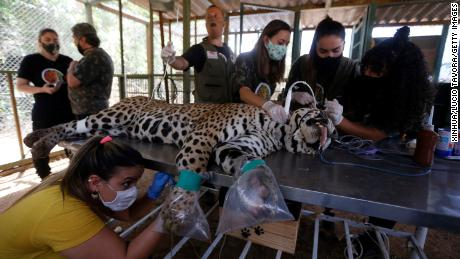 เจ้าหน้าที่รักษาเสือจากัวร์ที่ได้รับบาดเจ็บที่ศูนย์พิทักษ์สัตว์ในรัฐโกยาสประเทศบราซิลเมื่อวันที่ 27 กันยายน 2020