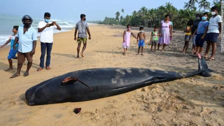Uma baleia-piloto morta em uma praia na costa oeste do Sri Lanka após encalhe em massa.