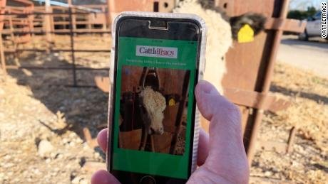 CattleTracs, an upcoming app for monitoring cattle, uses facial recognition technology to tell the animals apart.