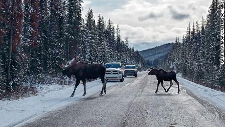 Американский лось идет через дорогу в национальном парке Джаспер.