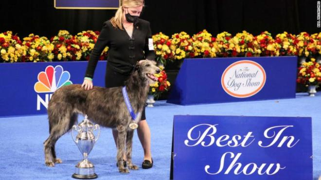 At the 2020 National Dog Show, Claire the Scottish Deerhound won Best In Show, with her handler Angela Lloyd.