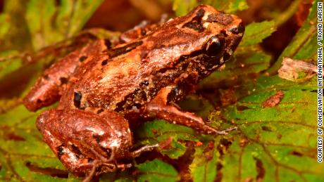 The Lilliputian frog is just 10 millimeters long.