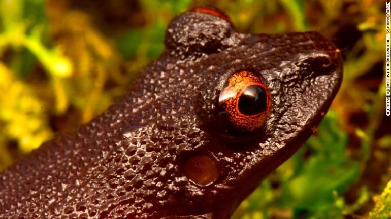 The devil-eyed frog.