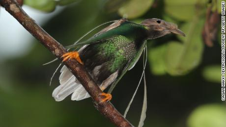 A male standard bird-paradise.  Like the newly discovered dinosaurs, it has decorated shoulders.