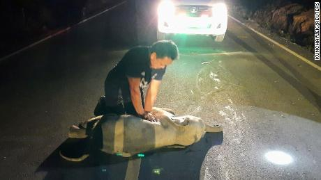 A Thai rescuer gave CPR to a baby elephant after it was hit by a motorcycle.  Survived
