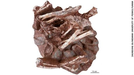 Researchers discover a dinosaur preserved sitting on a nest of eggs with fossilized embryos, a first