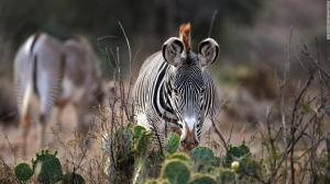 What is needed to protect the world's most endangered zebra
