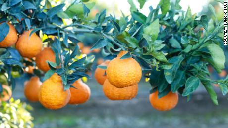 A Sumo Citrus fruit on a tree.