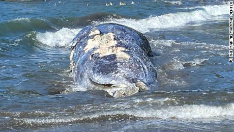The gray whale is not endangered, but its population has declined quite significantly in recent years.