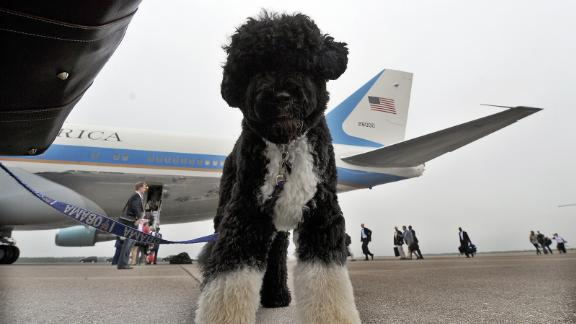 US First Family dog Bo waits to board the the Air Force One in Cape Cod on Martha's Vineyard, Massachusetts, on August 30, 2009 en route to Washington, DC.