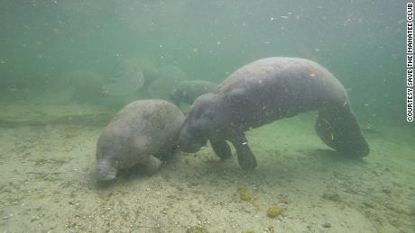 When manatees are malnourished, they can lose weight toward the back of their heads, giving their face a distinct peanut-like shape.