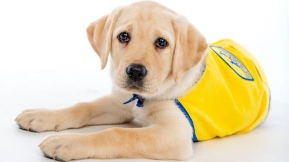 Meet Wisdom, a member of Duke University's Canine Cognition Center's Puppy Kindergarten spring 2020 class.