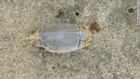 Sand crabs, also known as mole crabs, are common on many beaches -- and a key link in the food chain. This one is on a beach in Trinidad.