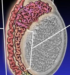 epididymitis diagram [ 910 x 1257 Pixel ]