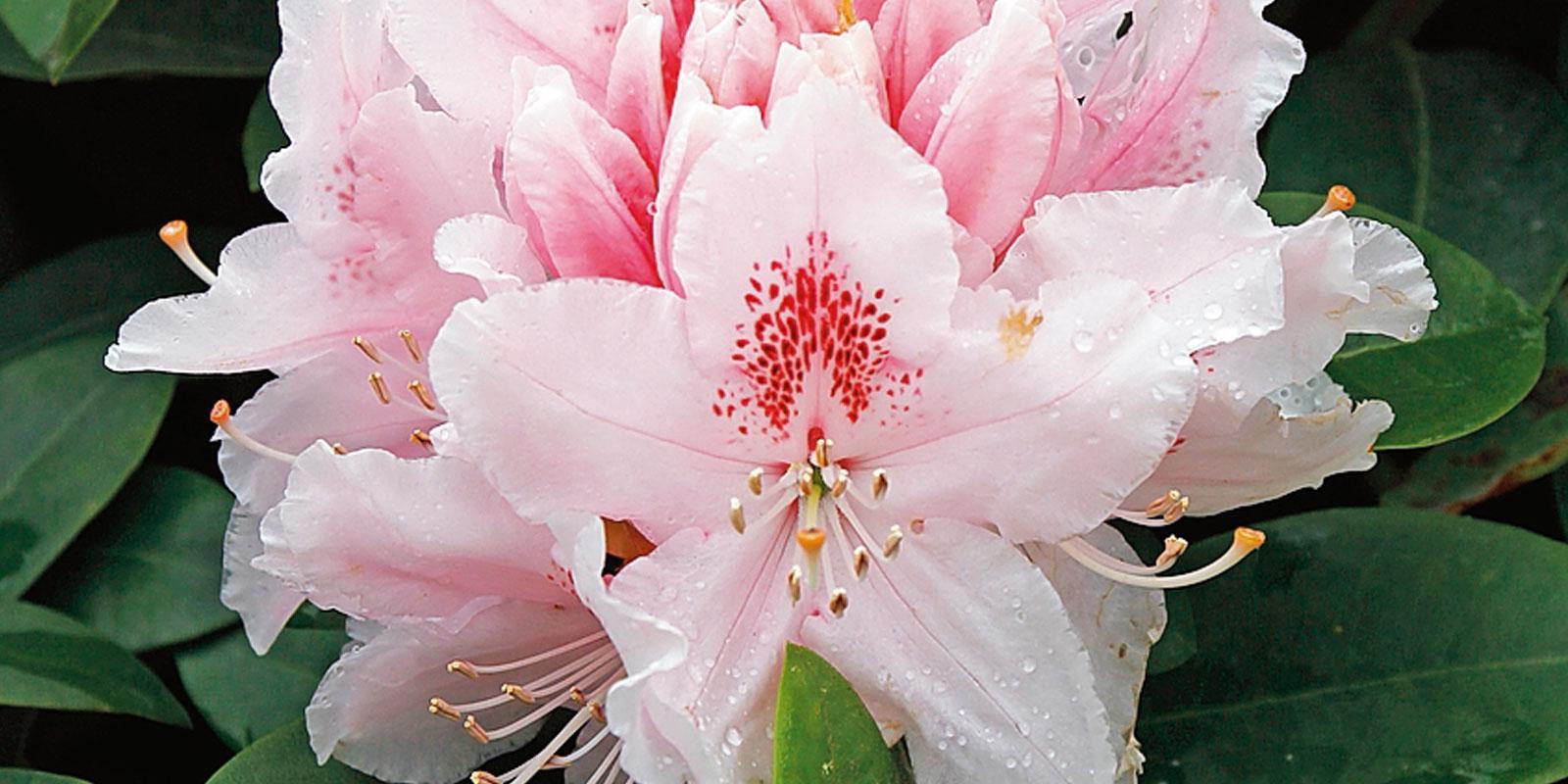 Rhododendron Albert Schweitzer  rododendro  Cose di Casa