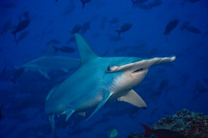 Tiburón martillo protegido a nivel mundial. Foto tomada de Pretoma.org
