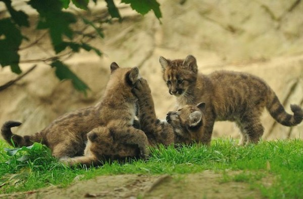 15 Reasons Why Mountain Lions Are Awesome Gallery Cult of Mac