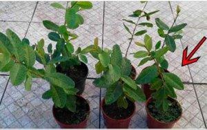 Você tem esta planta no seu quintal... e não sabe que ela é poderosa para tratar diabetes, pressão alta e problemas de má circulação