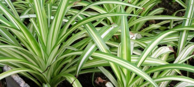 Long striped spider plant leaves 6 Stylish Houseplants That Are Safe For Cats And Dogs