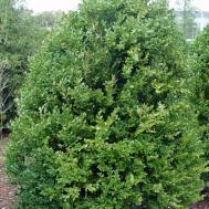 Boxwood Green Mountain Garden Housecalls