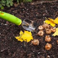 Fall Gardening Planting Bulbs