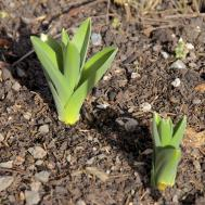 Info Spring Bulb Flowers Long Does Take