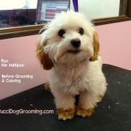 Maltipoo Grooming Styles Haircuts