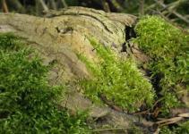 Panoramio Fresh Moss