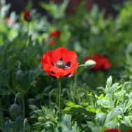 Panoramio Strangers Say Poppy Flower Here