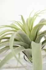 Tillandsia Air Plants Artificial