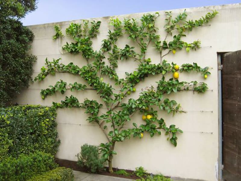 white outdoor dining chair australia covers china how to grow espalier fruit trees