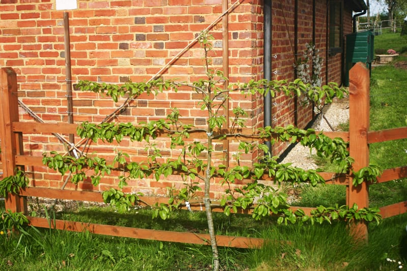 Espaliered fruit trees-designrulz (7)