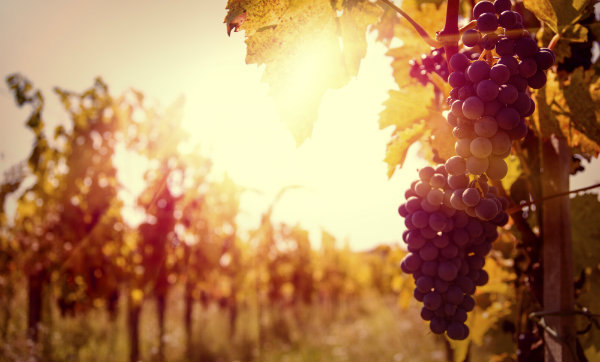 God Loves Good Wine