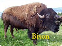 difference between bison and