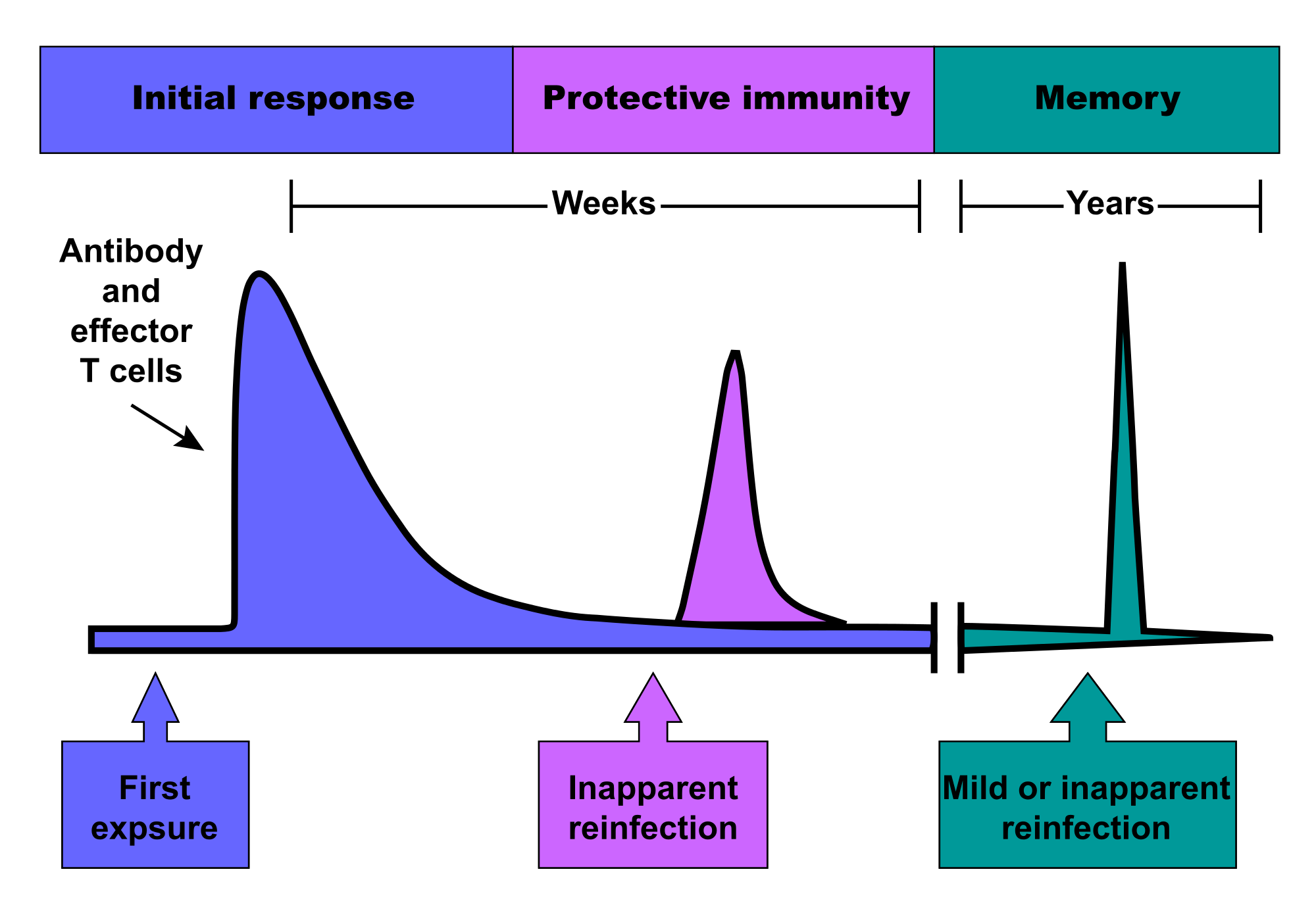 diagram of how vaccines work sew eurodrive motor wiring difference between humoral and cell mediated immunity