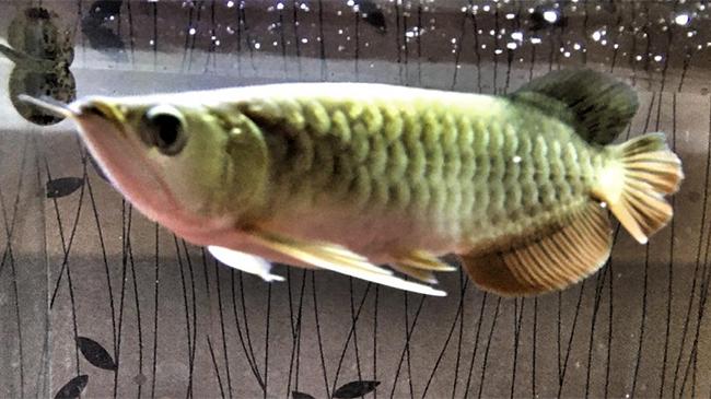 Predator Cantik, Ini 7 Jenis Ikan Arwana yang Wajib Kamu Tahu