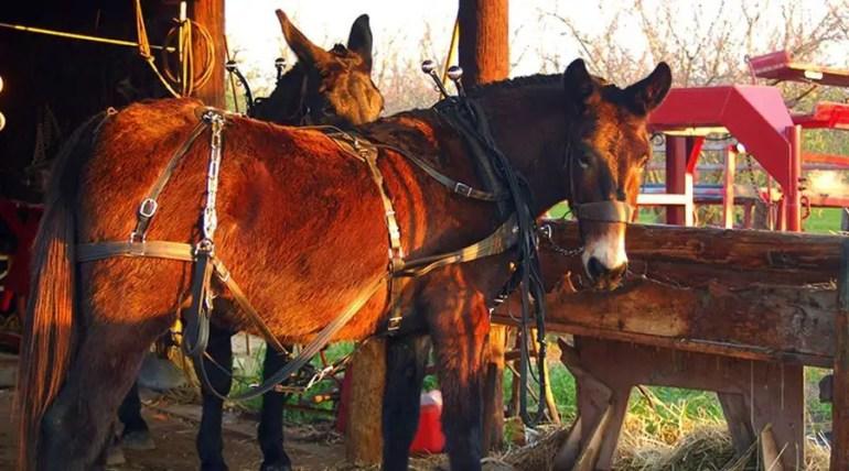 البغال والنغال Mules and Hinnies