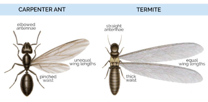 Comparison Of Flying Ants And Winged Termites