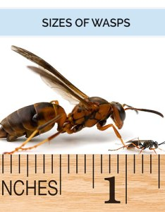 Wasp identification guide size wasps range in depending on their age and species are typically inch to long also  hornet what does  look like rh domyown