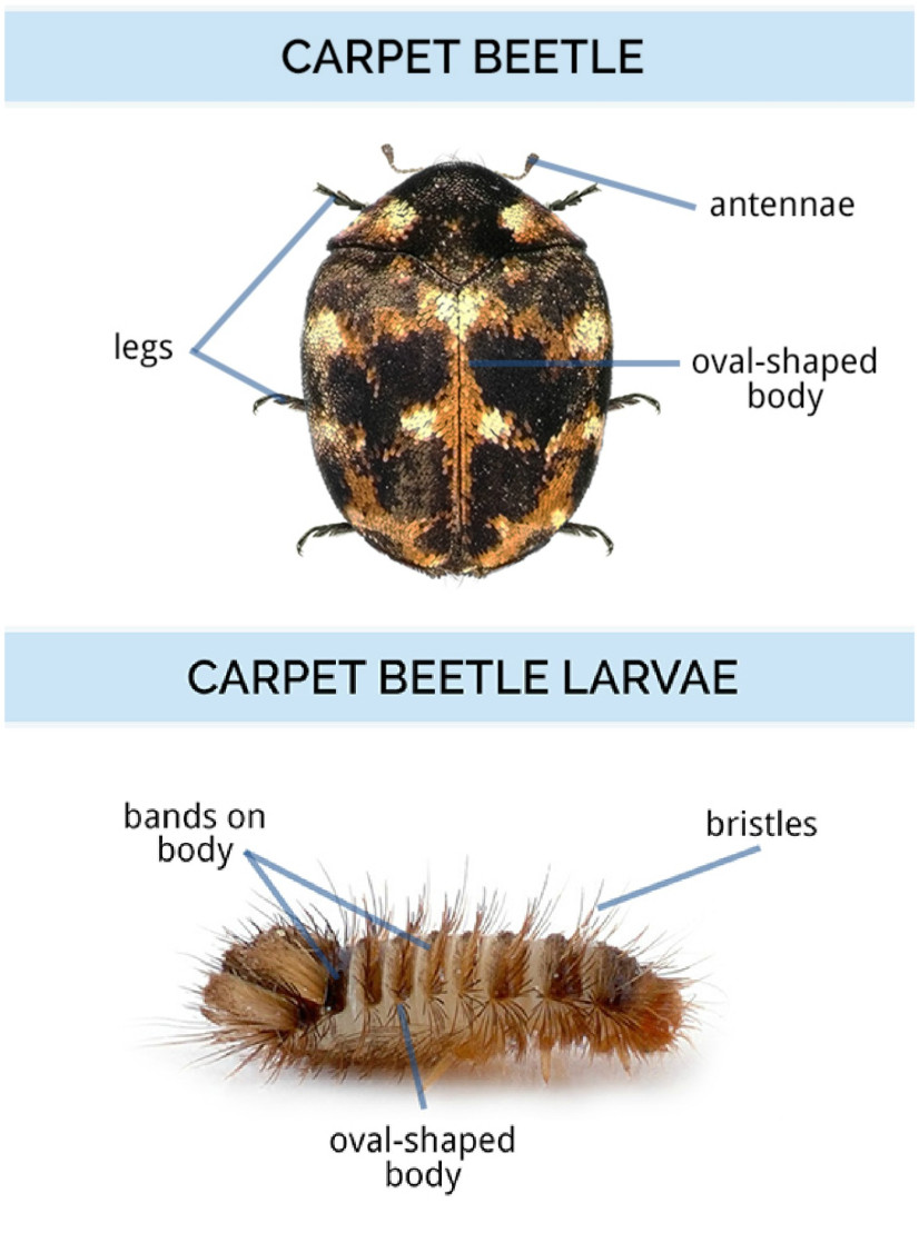 medium resolution of adult carpet beetles are oval shaped with six legs and two antennae they have rounded hard bodies and wings beneath their shells carpet beetle larvae can