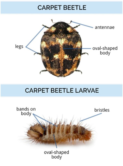 small resolution of adult carpet beetles are oval shaped with six legs and two antennae they have rounded hard bodies and wings beneath their shells carpet beetle larvae can