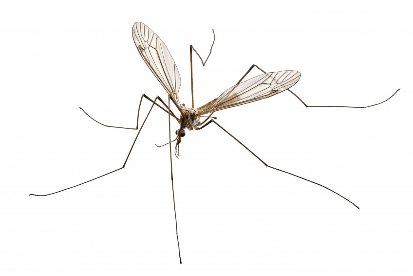 Crane Fly (Mosquito Hawk, Mosquito Eater) Identification Guide