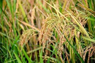 جنیاتی طورپر تبدیل شدہ چاول کی یورپی یونین کو برآمد ، پکڑے جانے پر بھارت کو شرمندگی کا سامنا