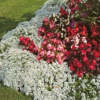 Alyssum Carpet of Snow Flower Seed From D.T. Brown