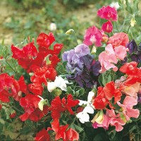 Sweet Pea (Dwarf) Patio Mixed Flower Seeds|D. T. Brown ...