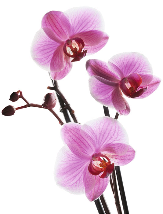 Duden  Orchidee  Rechtschreibung Bedeutung Definition Herkunft
