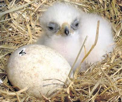 baby birds of prey