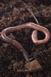 What Do Worms Eat A Compost Project Science Project Education Com