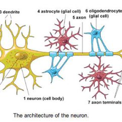 Detailed Neuron Diagram One Way Wiring Edible Science Project Education Com Credit National Institutes Of Health