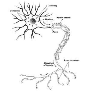 Edible Neuron Diagram | Science project | Education